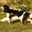 Cavalier King Charles spaniel running through a meadow - 图库照片