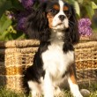 Dog Cavalier king charles spaniel — Stock Photo