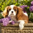 Stock Photo: Cavalier king charles spaniel