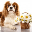 Stock Photo: Cavalier king charles spaniel and flowers chamomile