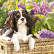 Cavalier king charles spaniel — Stock Photo