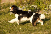 Cavalier King Charles spaniel running through a meadow — Stock Photo