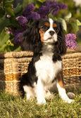Dog Cavalier king charles spaniel — Stock Photo