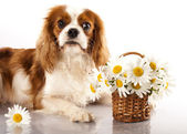 Cavalier king charles spaniel and flowers chamomile — Stock Photo