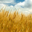 Foto Stock: Golden wheat field