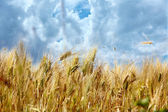 Rural landscape with wheat field — Stock Photo