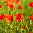 Field of poppies - Stock Photo