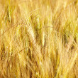 Wheat field — Stock Photo #11549509