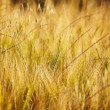 Wheat field — Stock Photo #11549571