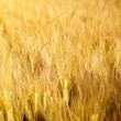Wheat field — Stock Photo #11549596