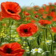 Stock Photo: Field of poppies - illustration