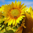 Sunflower field. — Stock Photo #12113297