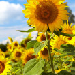 Sunflower field. — Stock Photo #12113349