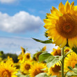 Sunflower field. -  