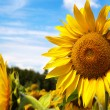 Close-up of sun flower against a blue sky — Stock Photo #12113403