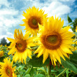 Sunflower field. — Stock Photo #12113441
