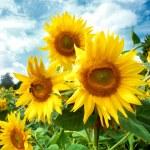 Sunflower field. — Stock Photo
