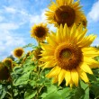 Sunflower field. - Stockfoto