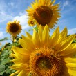 Sunflower field. — Stock Photo #12113528
