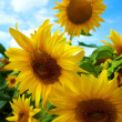 Sunflower field. — Stock Photo #12113550