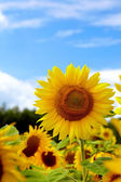 Close-up of sun flower against a blue sky — Stock Photo