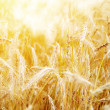 Royalty-Free Stock Photo: Golden sunset over wheat field. Shallow DOF, focus on ear