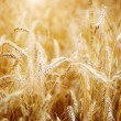 Golden sunset over wheat field. Shallow DOF, focus on ear — Stock Photo