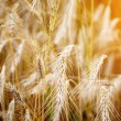 Golden sunset over wheat field. Shallow DOF, focus on ear - Stock Photo