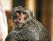 Opice — Stock fotografie