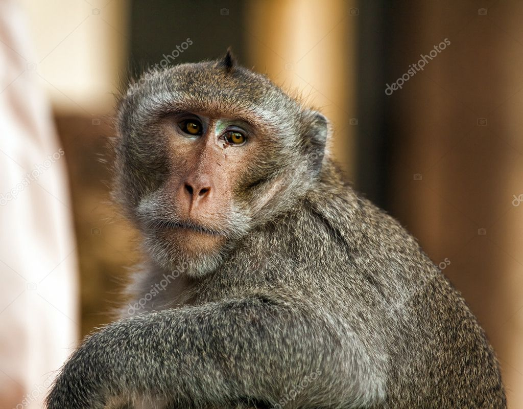 Portrait of monkey against blurred background — Stock Photo #11944030