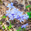 Hepatica nobilis flowers — Stock Photo