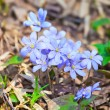 Hepatica nobilis flowers - Stock Photo