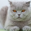 Portrait of British cat — Stock Photo #11014834