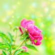 Pion. beautiful spring flowers — Stock Photo
