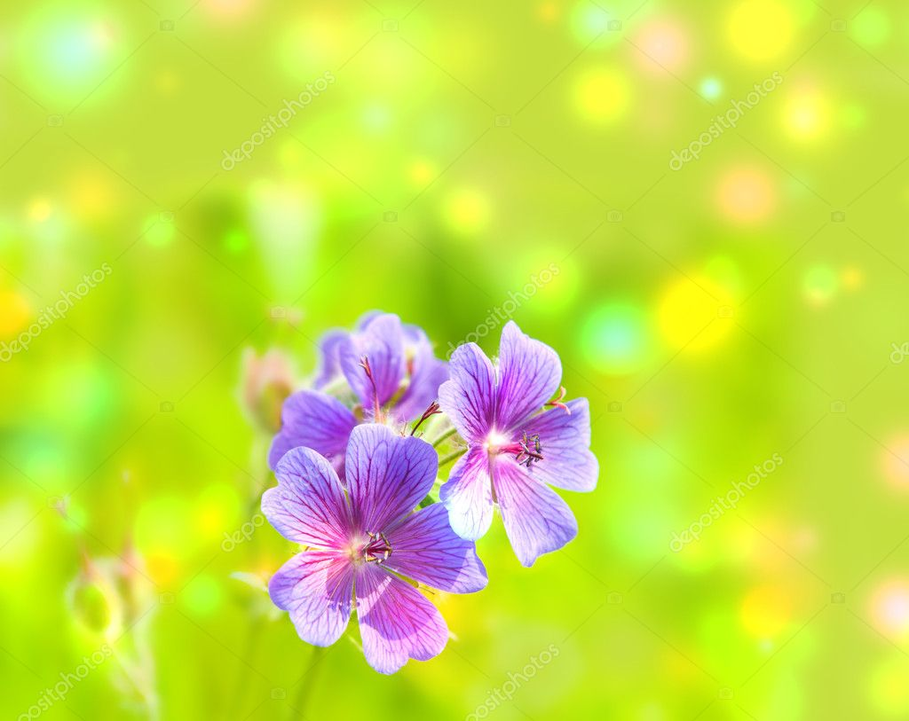 Early summer flowering geranium — Stock Photo #11663180