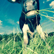 Stock Photo: Cow on field