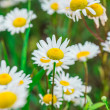 Beautiful field of daisies - Stock Photo