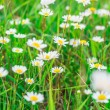 Beautiful field of daisies — Stock Photo #12025509