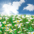 Beautiful field of daisies — Stock Photo