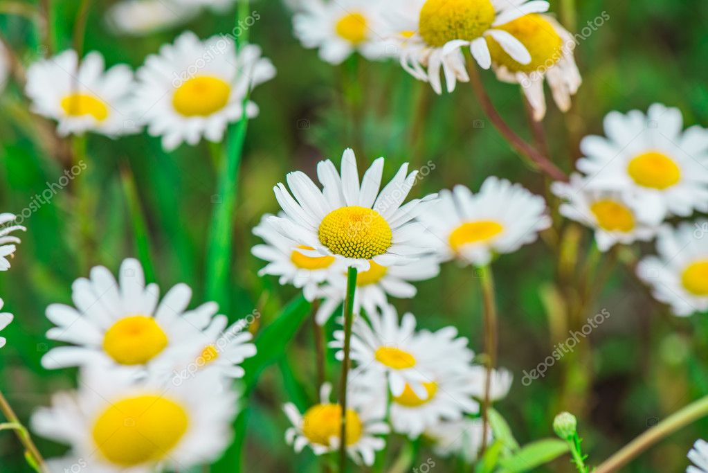 Beautiful field of daisies — Stock Photo #12025488