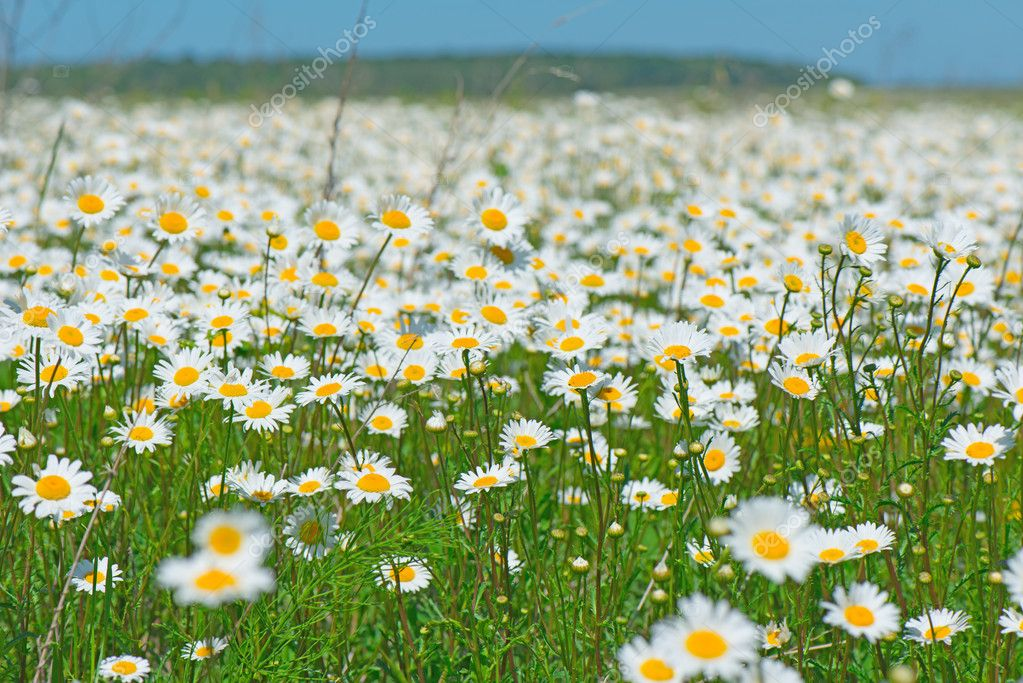 Beautiful field of daisies  Stock Photo #12025491