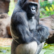 Gorilla — Stock Photo #10797110