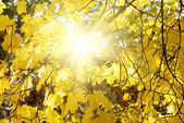 Maple tree with yellow (orange) leaves at sunset — Stock Photo