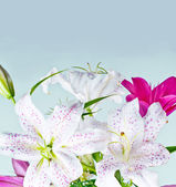 白とピンクのユリの花 — ストック写真
