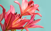 Beautiful Pink lilies background — Stock Photo