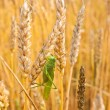 Grasshopper sits on the golden ears of wheat — Stock Photo #10793309