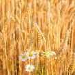 Chamomile flowers are blooming in wheat - Photo
