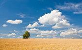 Solo árbol en campo de trigo — Foto de Stock
