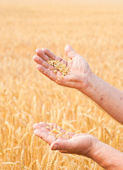 Ripe golden wheat ears in her hand — Stock Photo