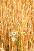 Chamomile flowers are blooming in wheat — Stock Photo